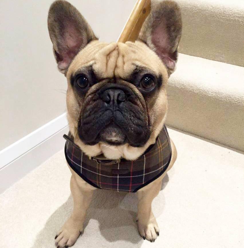 barbour dog coat french bulldog