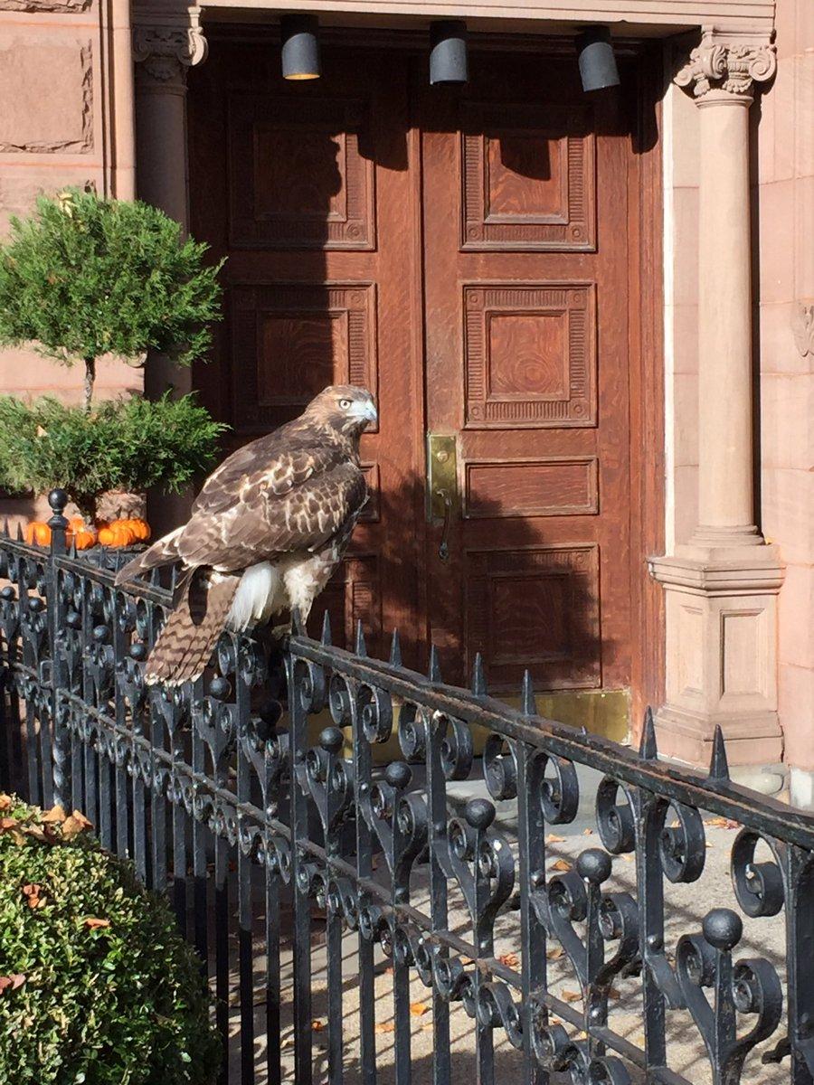 Just a hawk casually chillin on Comm Ave #boston cc @universalhub https://t.co/CmkruZGBma