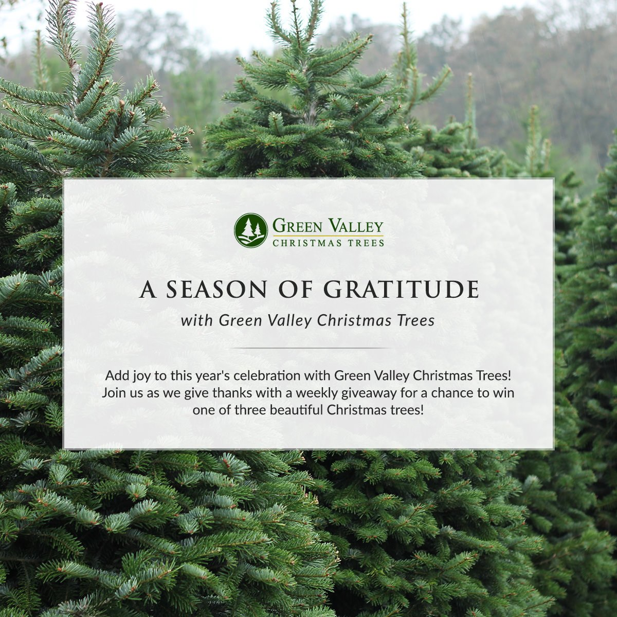 green valley trees on twitter join us as we give thanks for a chance to win one of 3 beautiful greenvalleytree christmastrees gvctgivesthanks