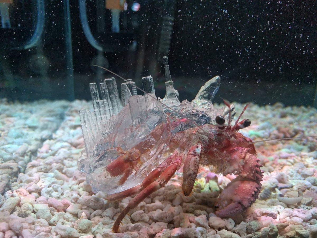 3Dプリンタで作られた殻を背負うヤドカリ。殻の上部には日本が。なんかすごい神話っぽい https://t.co/2EakRY3bSq