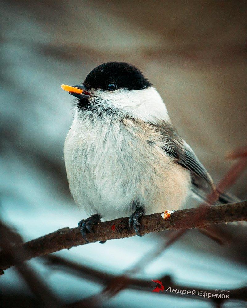 Гаичка буроголовая птица картинка