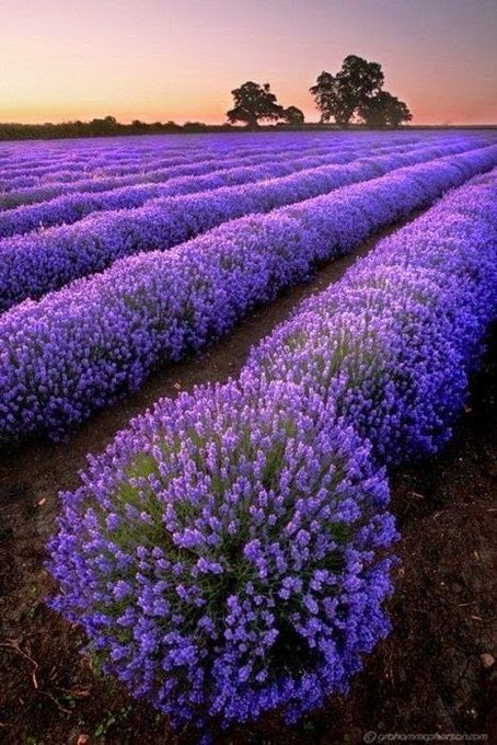 I love Lavender & it's skin-boosting benefits | natural beauty skincare