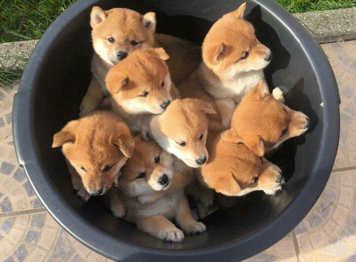 このヌイグルミの中のどこにホンモノの犬が混じっているのかとおもったら、ぜんぶホンモノだったわい。「芝犬入りバケツ」imgur.com/OGZqA6t pic.twitter.com/6g11OOD47n