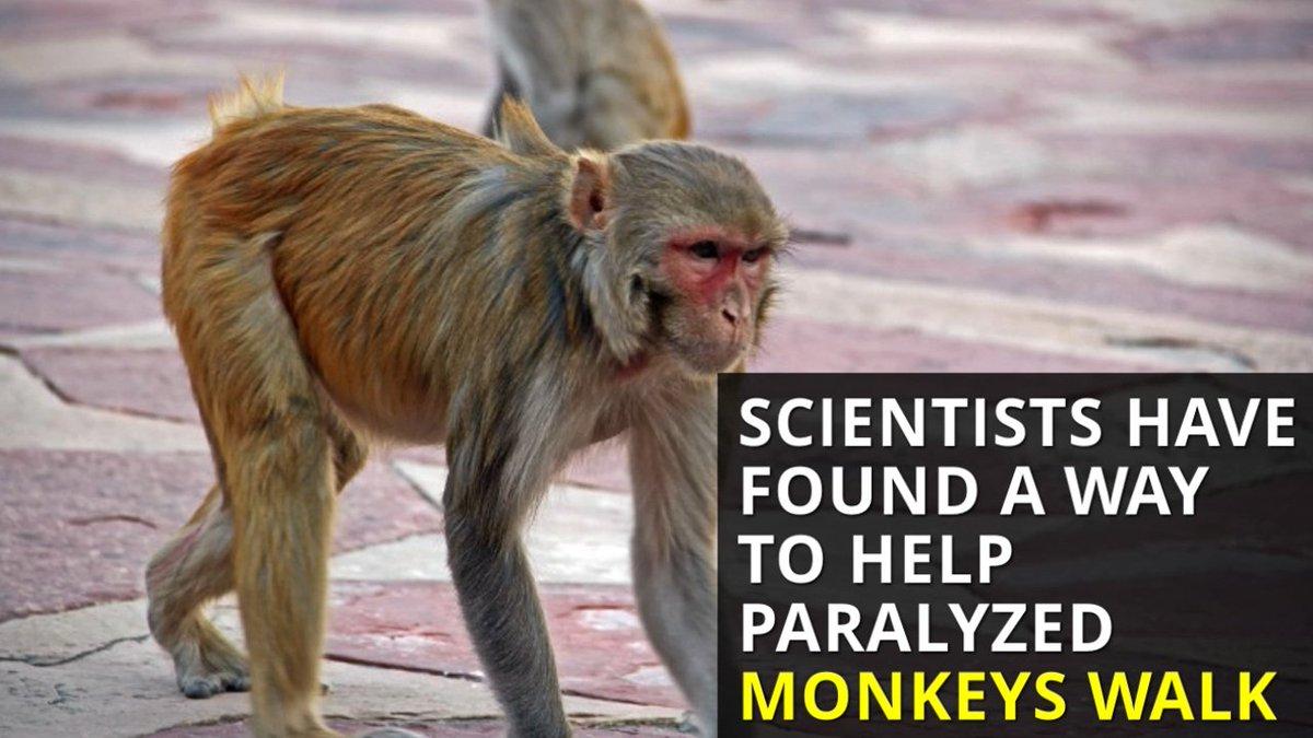 monkeys walk: Latest n...
