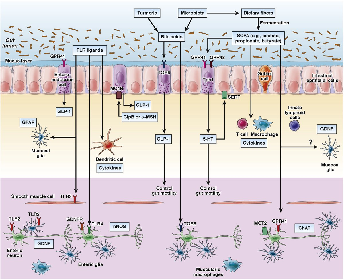 #Gastro brief review discusses impact of the gut microbiota on the enteric nervous system: https://t.co/zfZ7IpiJHW https://t.co/ETNkZ2wUSa