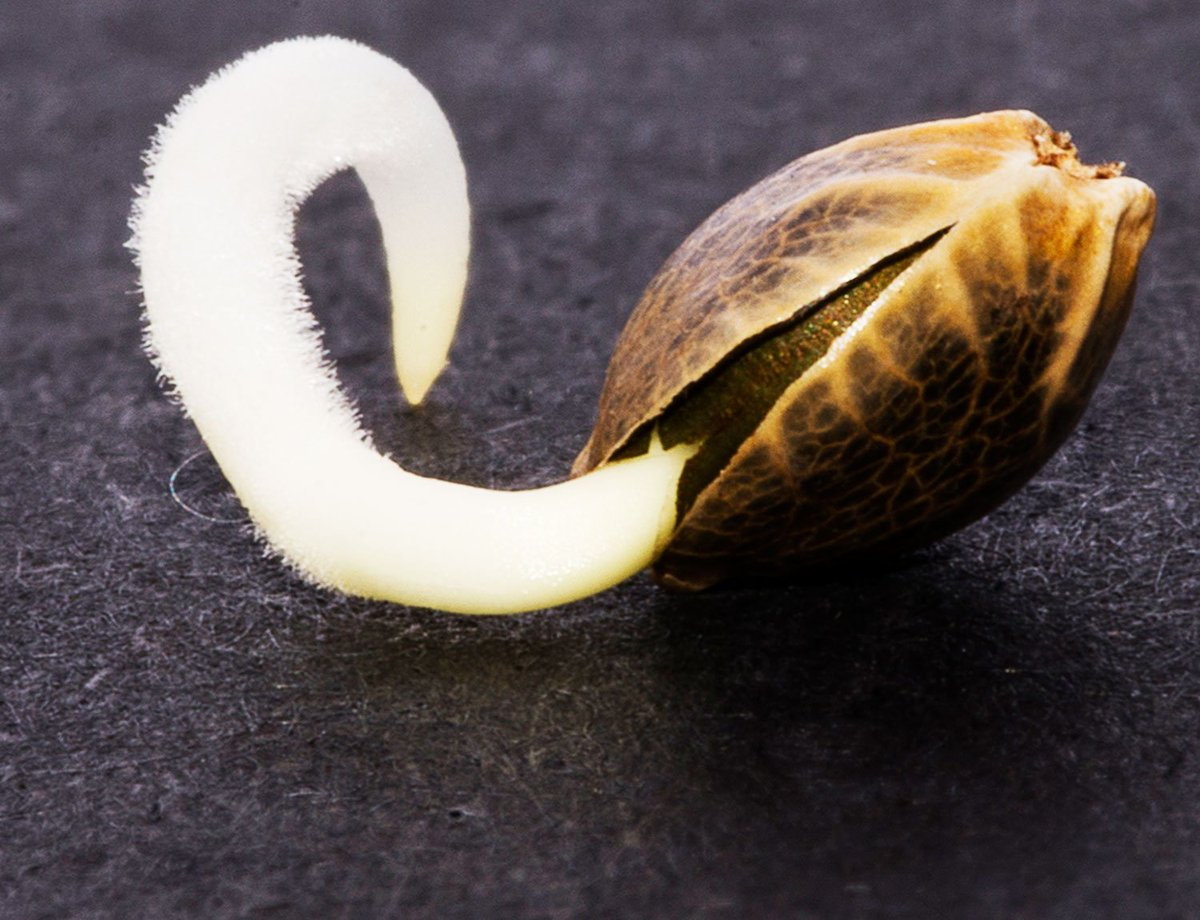 Семя конопли проращивание запоя марихуане на из выход