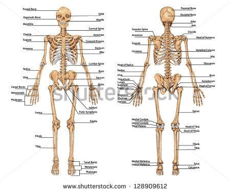 Bones in the adult human body