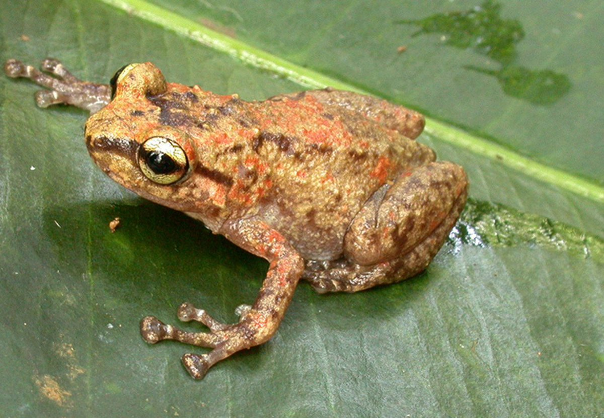 Ten new species of microhylid frogs from Papua New Guinea