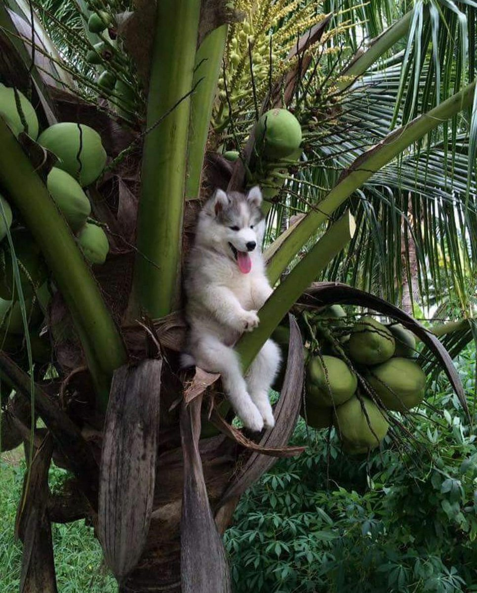 ヤシの木に登って降りられなくなってしまったハスキー犬の写真、額装して部屋に飾りたい https://t.co/JMl1iZ2rnO