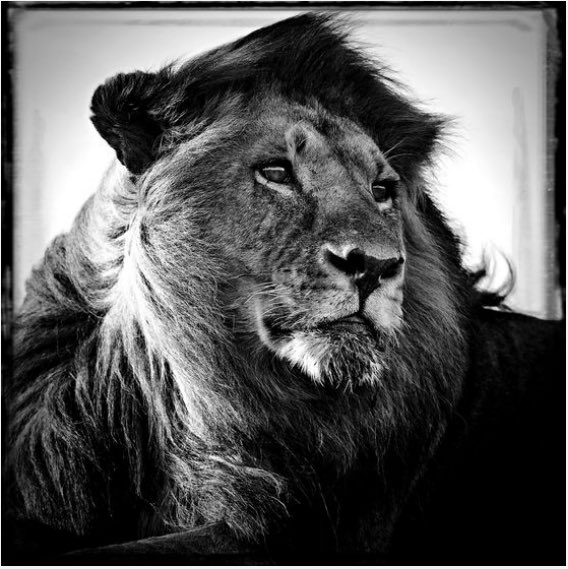 Lion dans le vent . Crédit @laurentbaheux  https://t.co/7Jabagfvc1