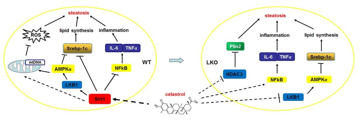 Molecular Metabolism On Twitter Celastrol Ameliorates Liver