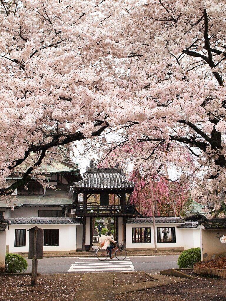 أزهار الكرز المعروفة في اليابان باسم شجرة الساكورا ..
