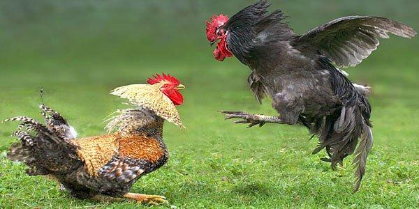 Image result for judi sabung ayam
