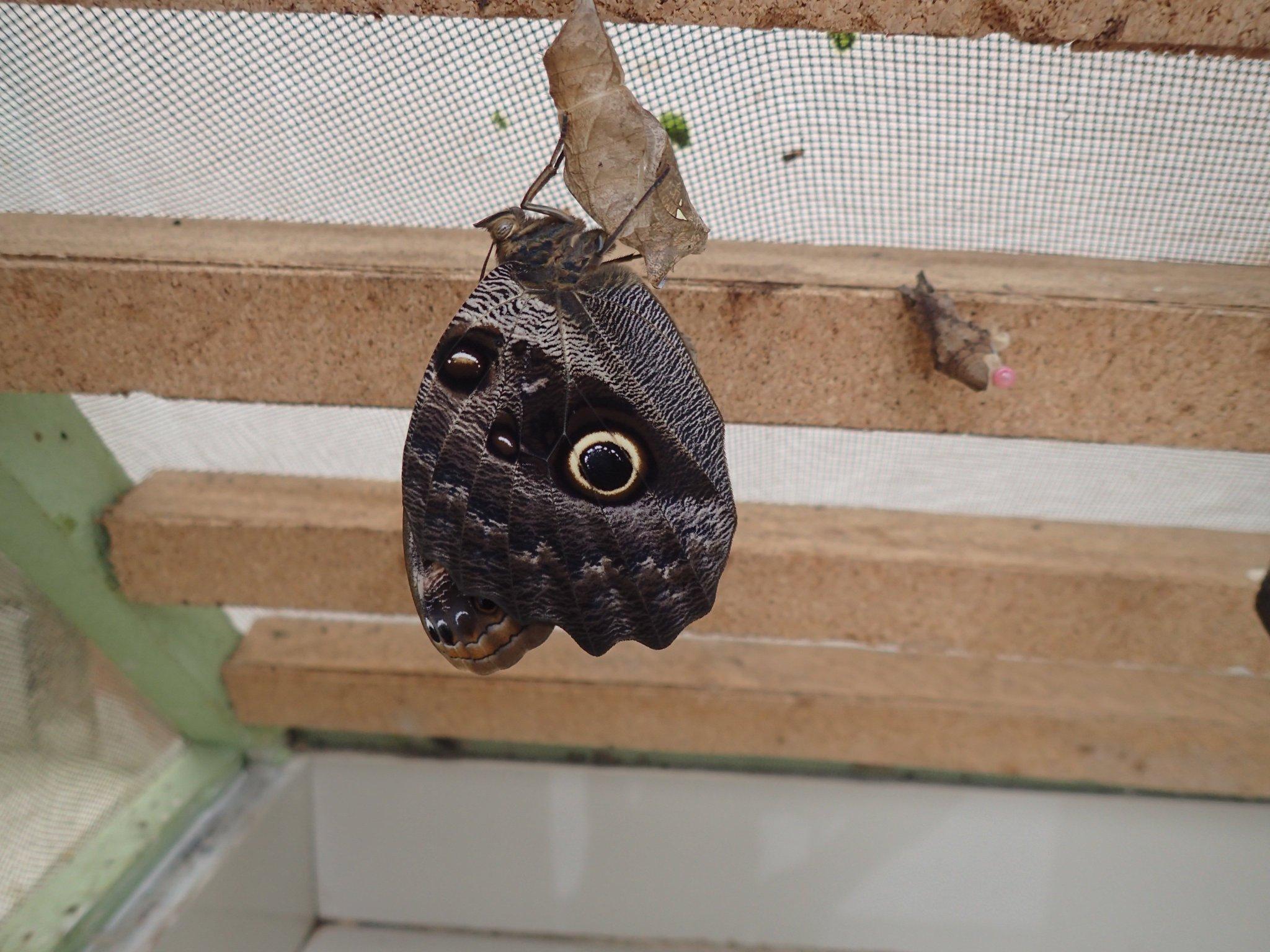 A newly emerged Owl Eye https://t.co/zHBAyKysfq