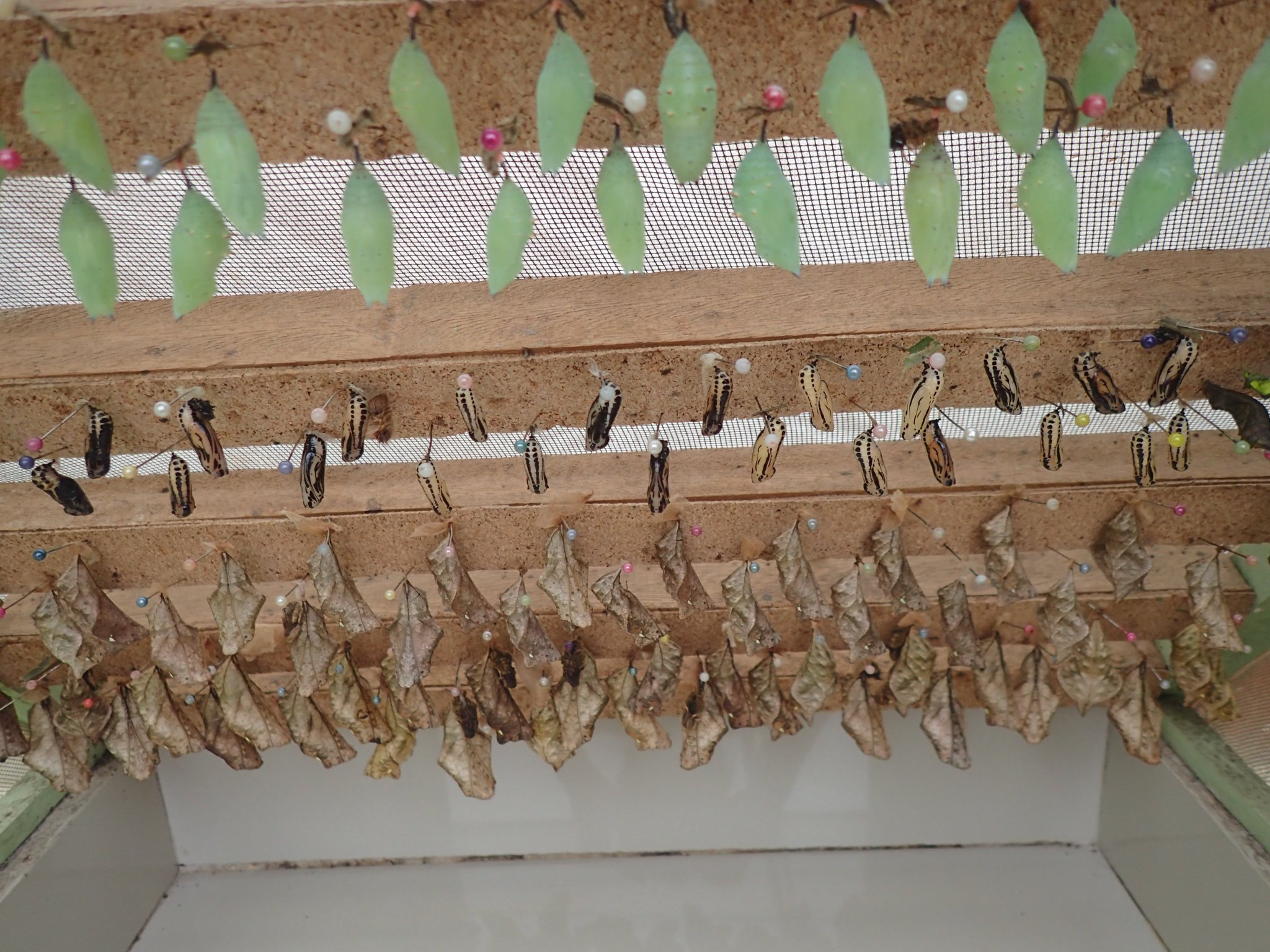 Today's crop of chrysalises at the butterflyery https://t.co/pi0rF9o0oa