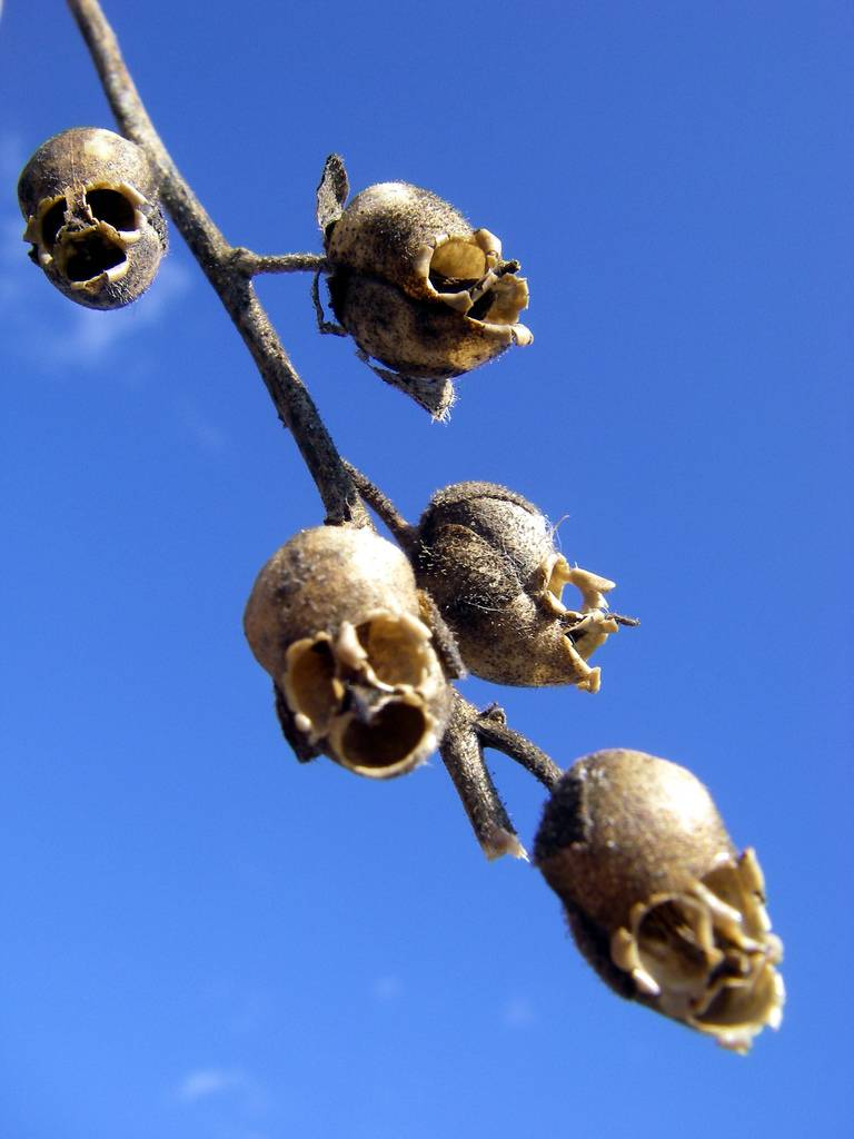 """Nature Is Weird on Twitter: """"Snapdragon seed pods look like little ..."""