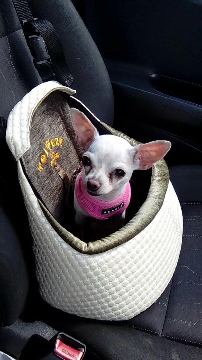 ToitertUK On Twitter Comfortable Ride Only With Toitert Car Seat Chihuahua Chihuahualove Famouschihuahua
