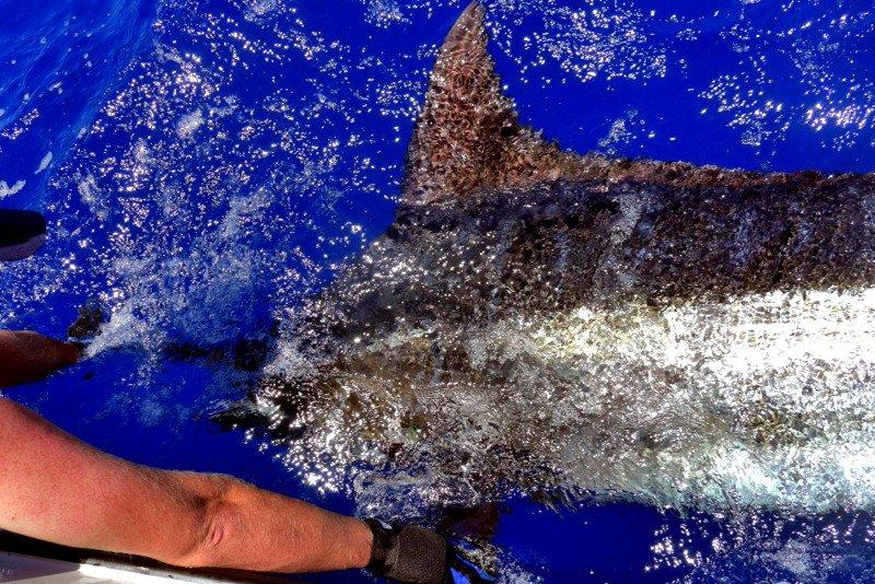 Bazaruto, Mozambique - Watamu released a 550 lbs. Blue Marlin.