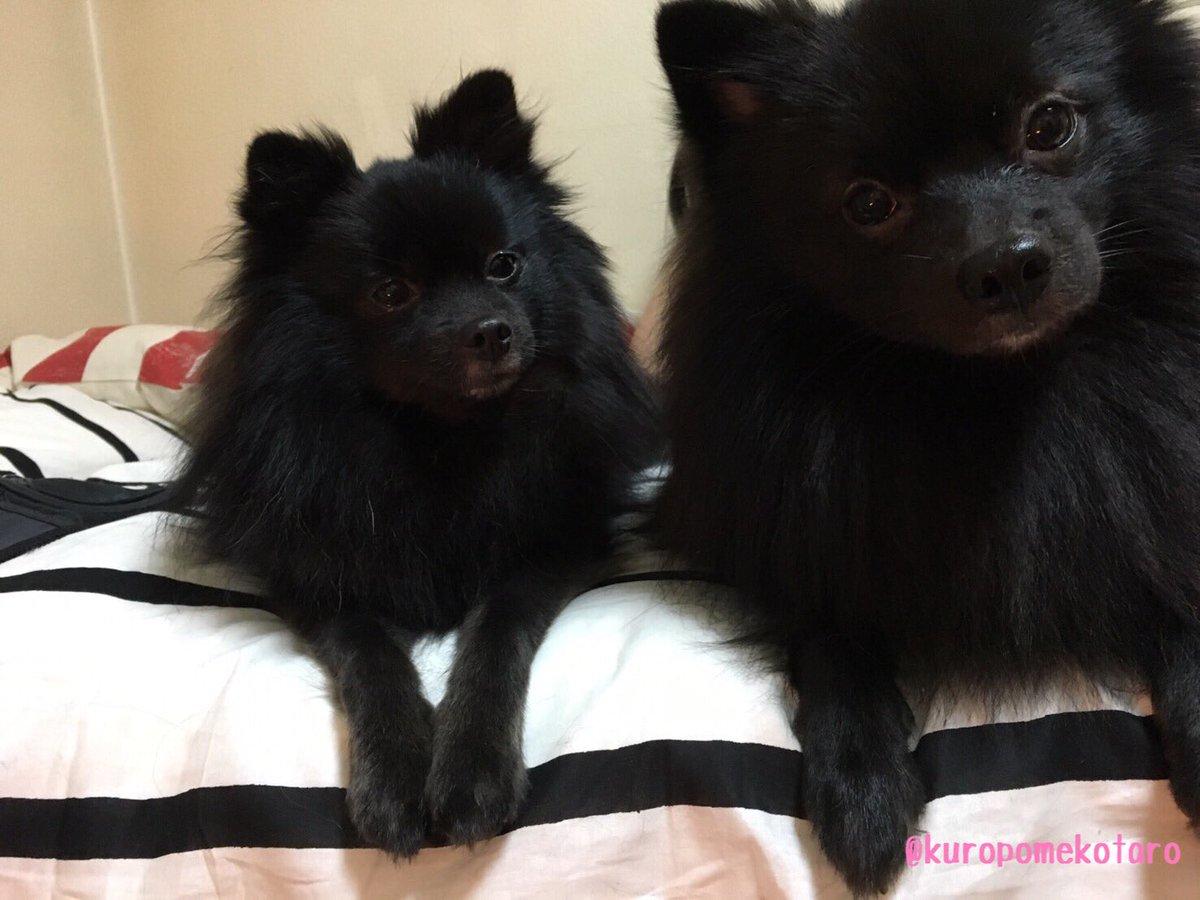 実家のるんちゃん(左)と小太郎(右)の大きさの違いがすごすぎてまるで加工したかのような一枚です(°_°)! ポメラニアン 黒ポメ  可愛いpic.twitter.com/QSgY4OuXby