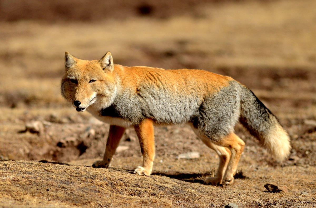 морковный тибетская лисица фото цвета причудливые элементы