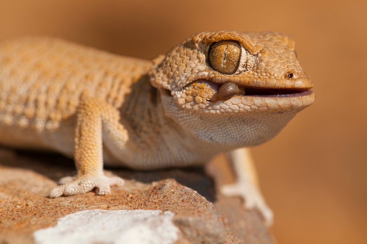 """Exo Terra on Twitter: """"Helmeted gecko or Tarentola chazaliae with what  probably used to be a scorpion. by Ferran Aguilar, Spain, #exoterra  #nactusaward… https://t.co/JeOjEo07vx"""""""