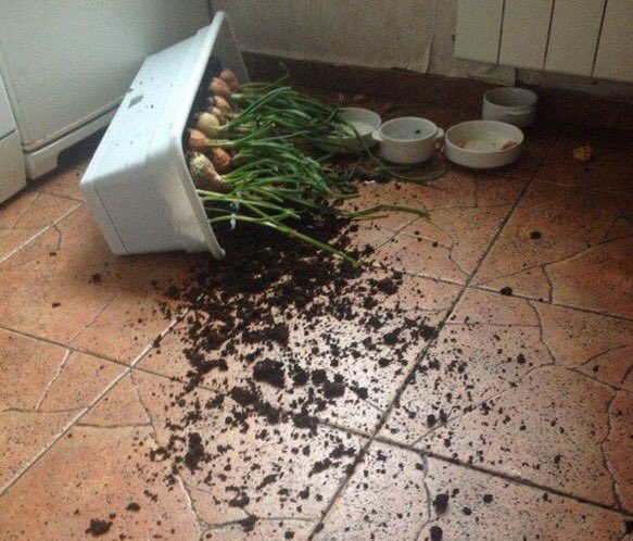 WHO KNOCKED OVER MY ONIONS