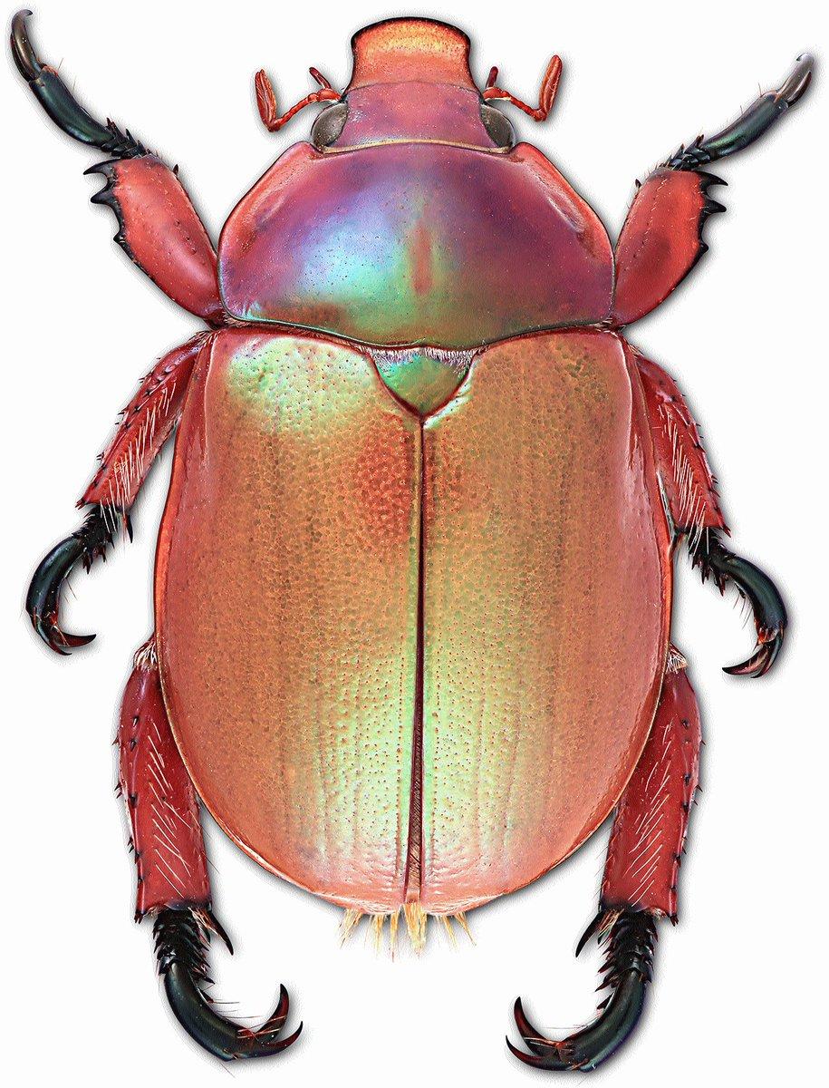 Australian Christmas Beetle.Australian Museum On Twitter Get Festive Name A