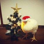 チキンにされないニワトリのクリスマスの過ごし方がこちら!