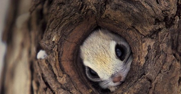 This is Pteromys momonga, a Japanese Levitation Charm.   I mean... a Japanese Flying Squirrel.