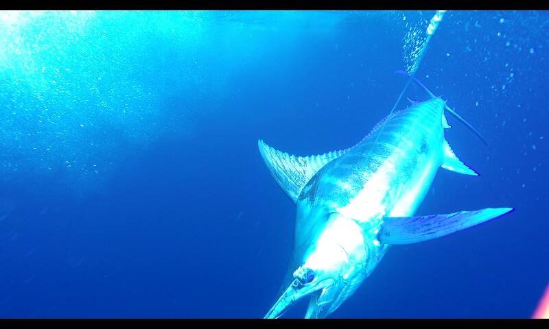 Los Suenos, CR - Geaux Fly released a Grand Slam with 2 Blue Marlin a Striped Marlin and Sailfish.