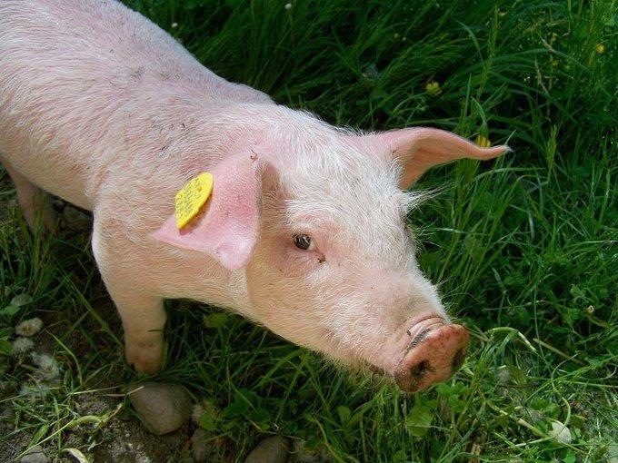 #Nîmes : condamné pour avoir demandé à son cochon de mordre la gendarme maghrébine https://t.co/QhCOAul4e7