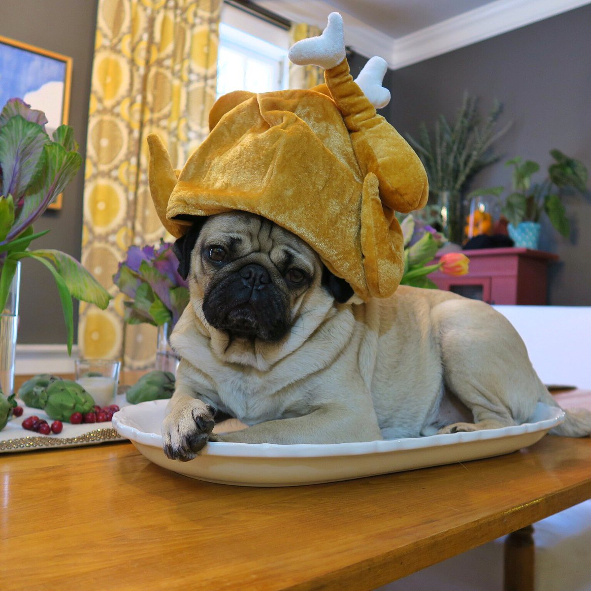 thanksgiving pug doug the pug on twitter quot thanksgiving is a pug s dream 3292