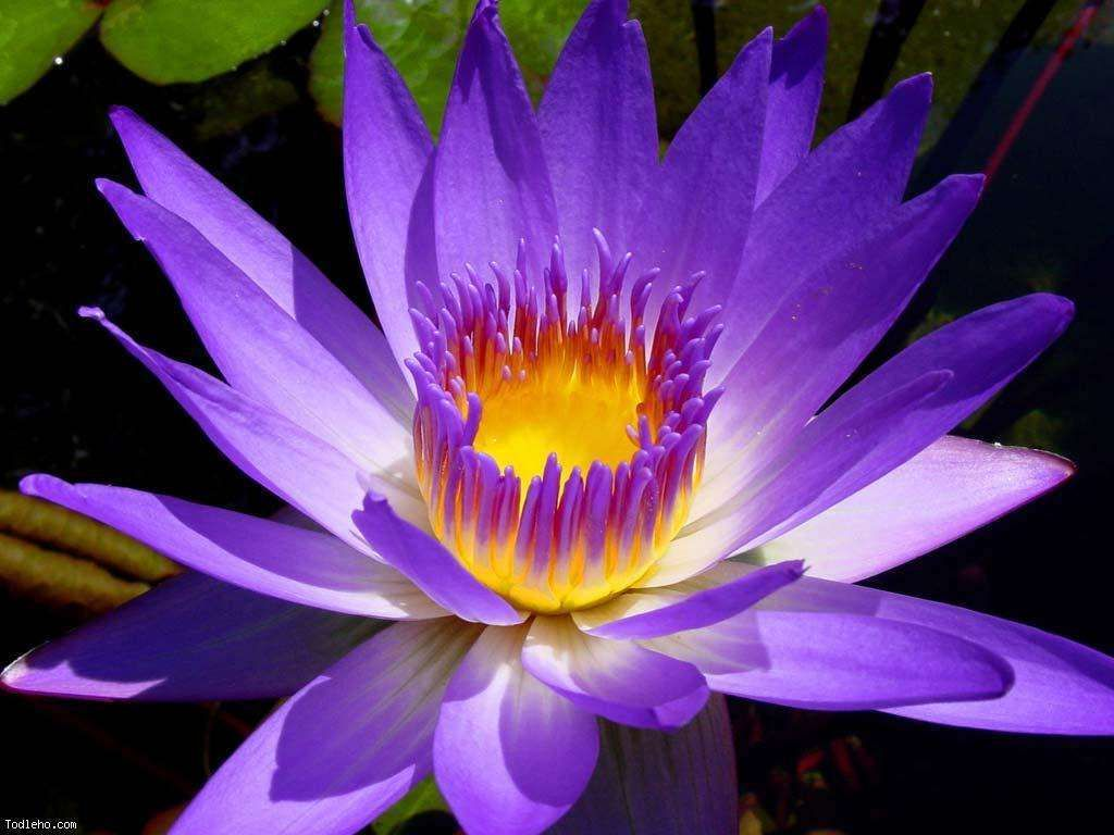 World Love Flowers On Twitter Loveflowers Facts The Lotus Is A