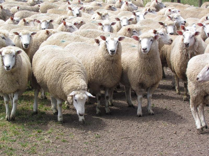 Cashmore Oaklea ewe sale, Thursday 1st December, 12 noon, 9400 ewes and lambs, catalogue on Auctions plus. good luck. Regards John Keiller
