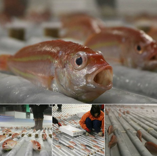 Japanese skating rink with 5,000 dead fish frozen into ice forced to close after animal rights outrage (pic via @SpaceWorld_info)
