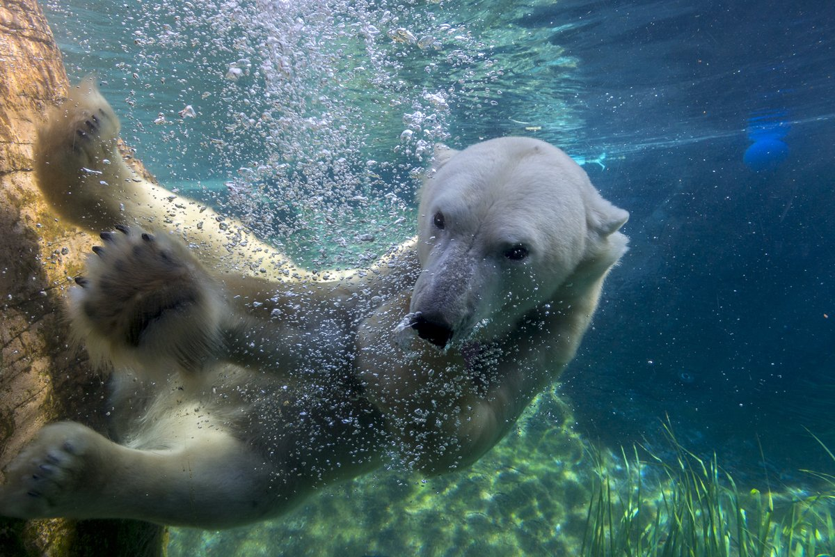 San Diego Zoo On Twitter Test Your Polar Bear I Q Be Entered To