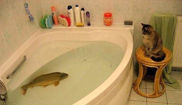 ポーランドのクリスマスの風物詩。風呂桶に生きた鯉。 ポーランドはクリスマスに鯉を食べるのだけど普段新鮮な魚とは無縁なのにこの時期だけスーパーに生簀が出現し、ご家庭で調理するまで風呂桶で保存されます。