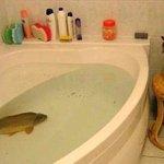 お風呂に鯉はポーランドのクリスマス前には当たり前の光景らしい