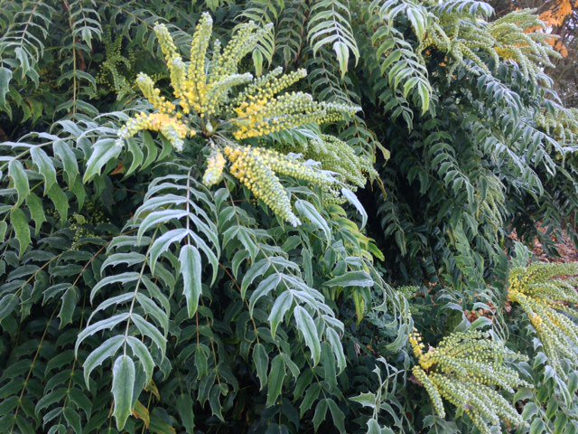 Rhs Garden Wisley On Twitter Frost Covered Mahonia X Media