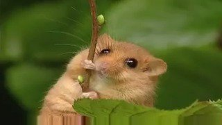 Just in case you need a break from the news, heres a dormouse running up a hazel twig #ThursdayThoughts