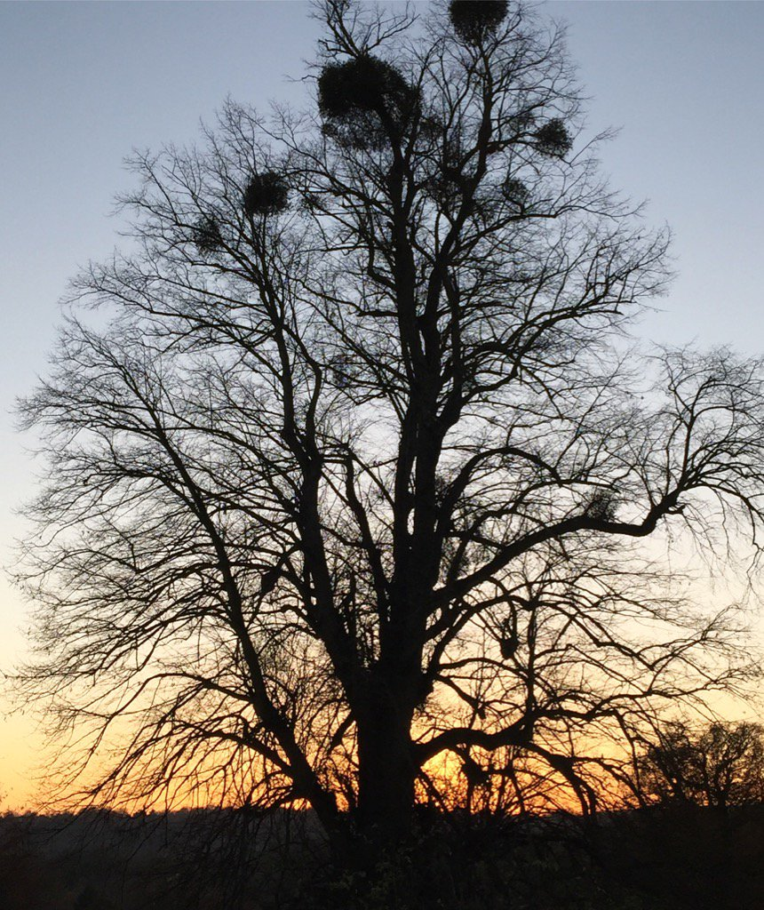 Check out the #mistletoe - #sunset view from the @LoseleyPark @Loseleyevents #walled #garden this evening