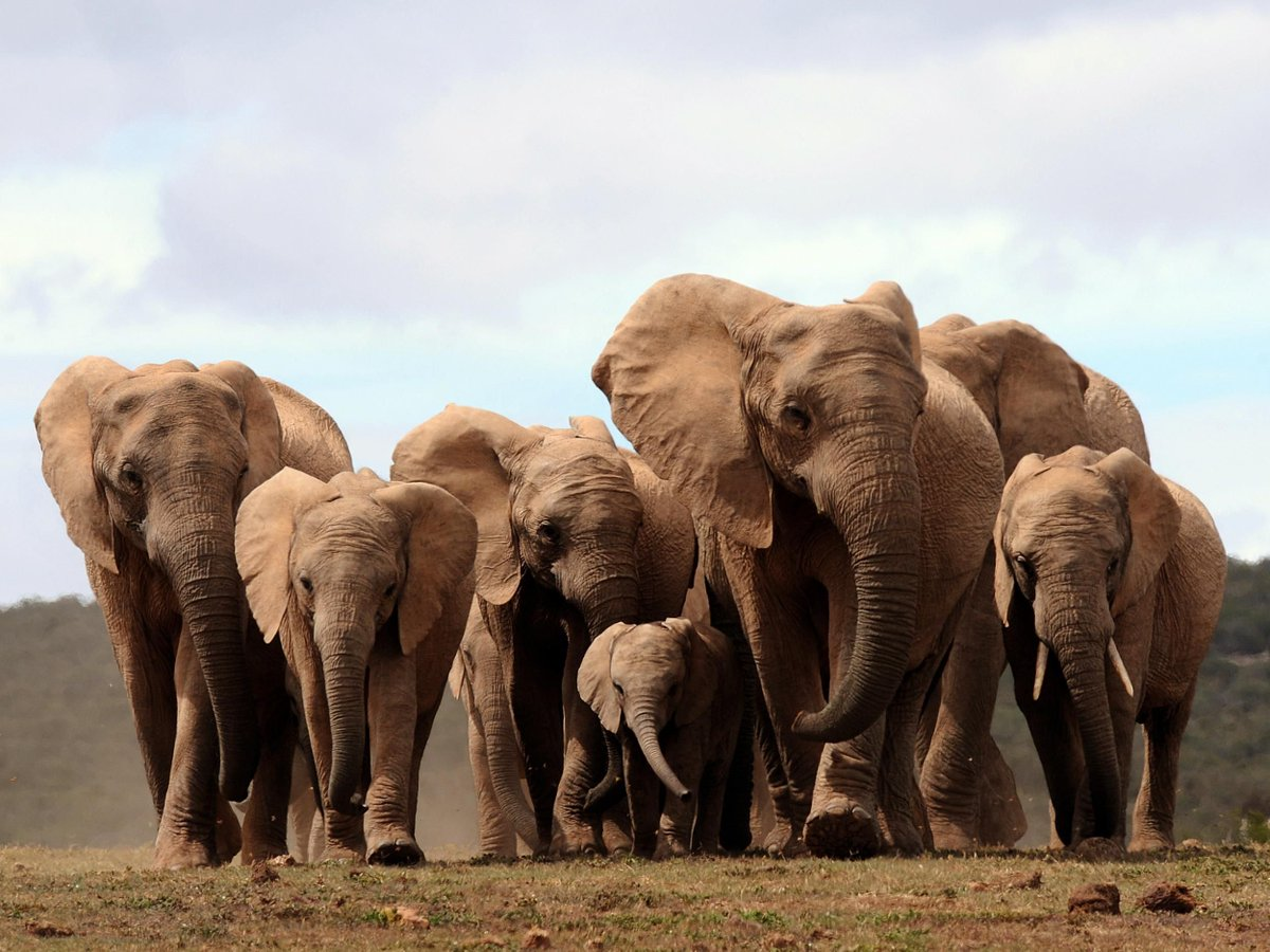 Elephants are now being born without tusks because of poaching https://t.co/vsJO7VRNs2 https://t.co/D5TRIvC4ec