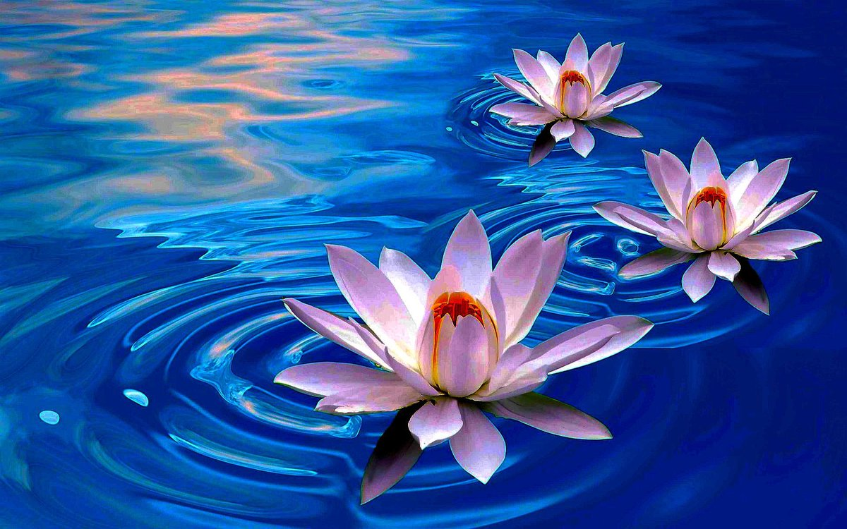 World love flowers on twitter loveflowers facts the lotus world love flowers on twitter loveflowers facts the lotus flower is a very popular tattoo mightylinksfo