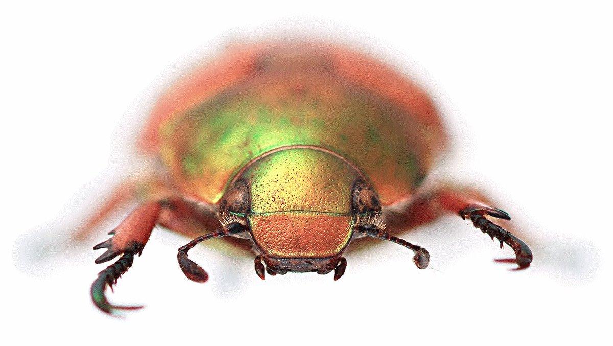 Australian Christmas Beetle.Australian Museum On Twitter Go Down In Beetle History