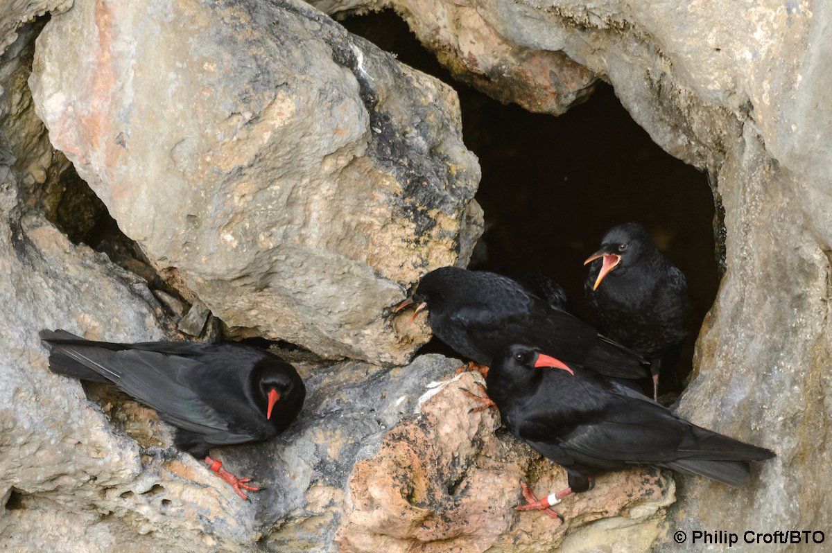 "We can't wait for the opening talk of #BTOConf16 tomorrow eve - Tony Cross & Adrienne Stratford on ""25 years of ringing Choughs"" https://t.co/rAHORyJxWl"