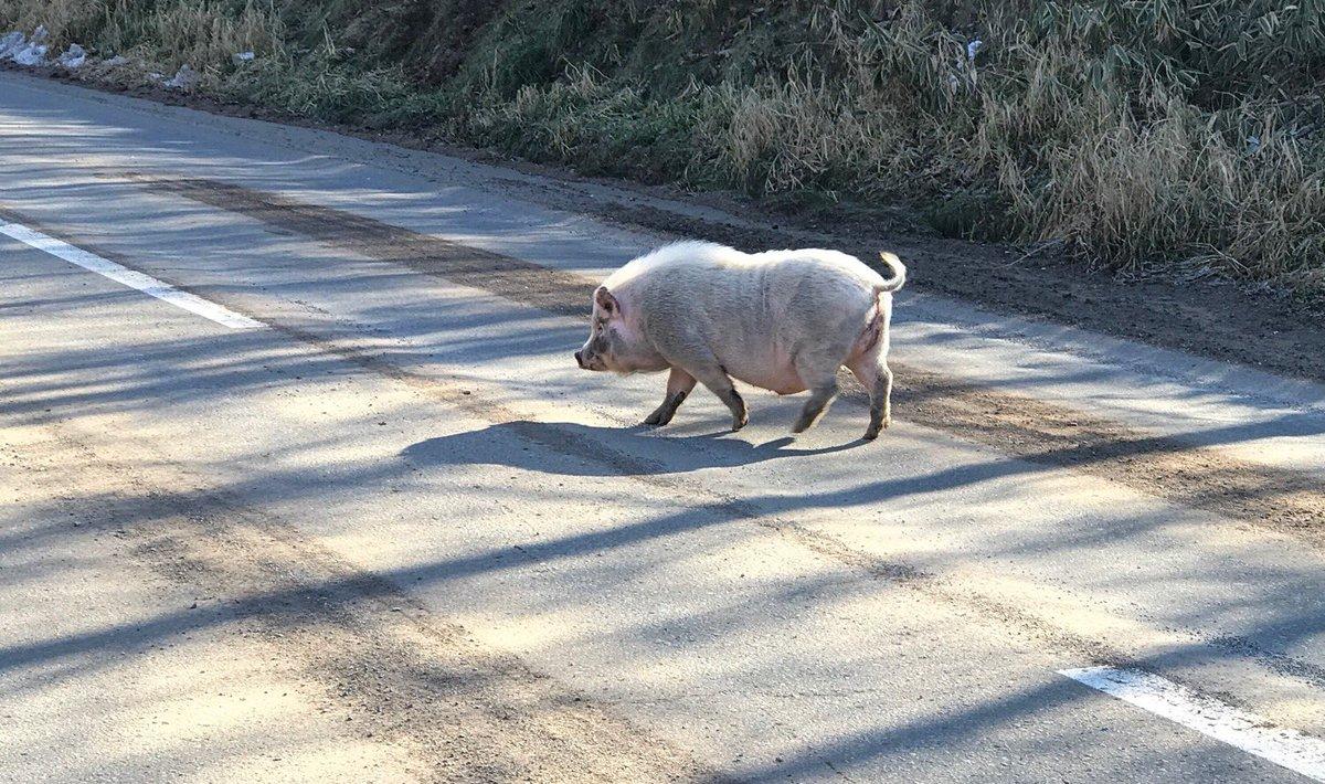 買い物に行く途中の県道を、豚さんが散歩してた。(๑˃̵ᴗ˂̵) https://t.co/dodhvyAWMp