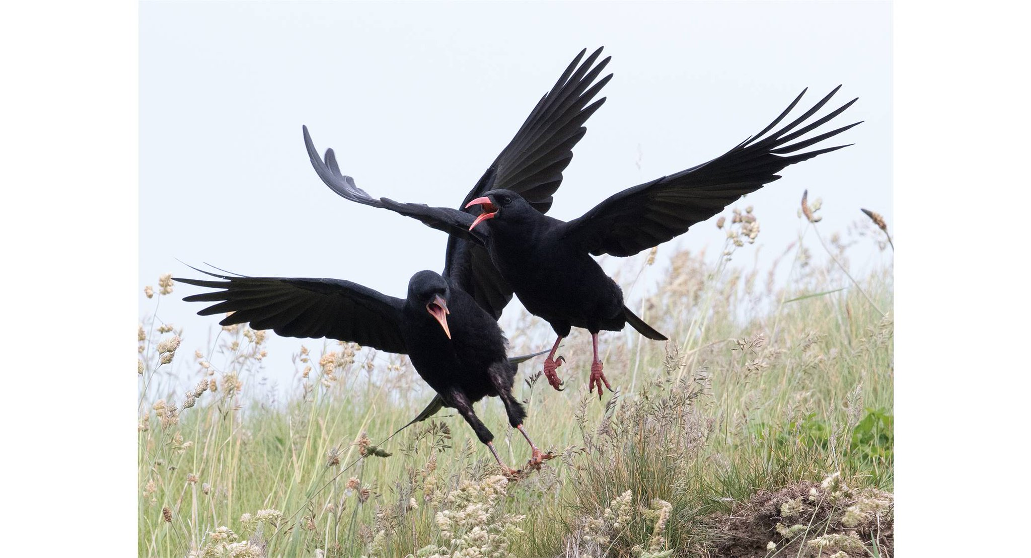 #BTOConf16 kicks off in style with Tony Cross & Adrienne Stratford on their fab long-term project discovering the secrets of Welsh Choughs https://t.co/8pZK7OulTK