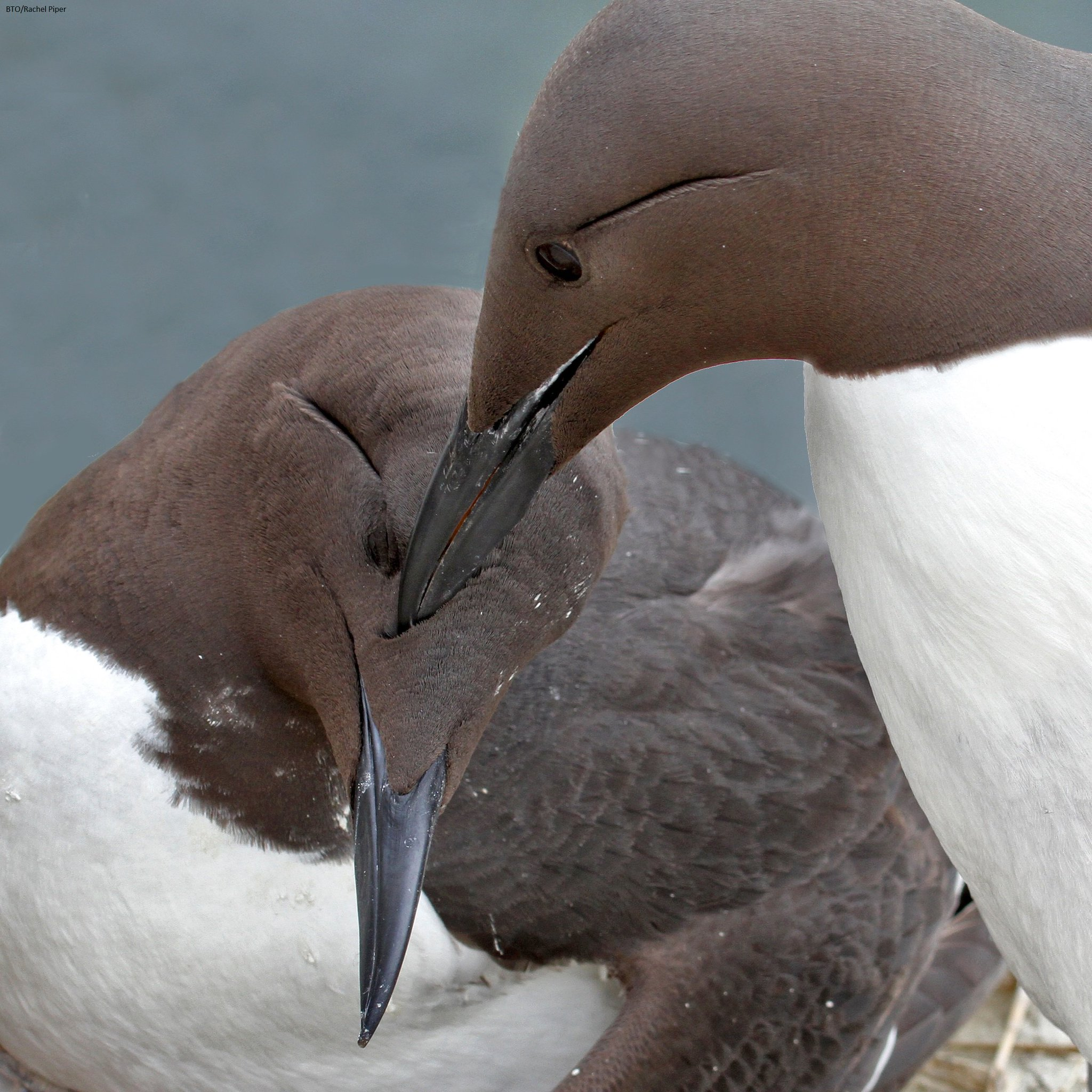 Day 2 of #BTOConf16 & we're starting with @ElspethKenny's studies on allopreening in Guillemots @skomer_island: https://t.co/fGaExTka3n https://t.co/X52gzT0GBL