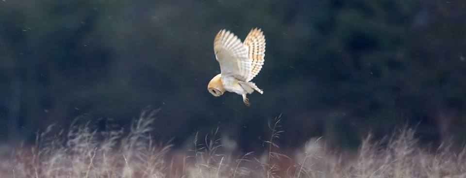 Barn Owls are not just stunningly beautiful birds - they're important indicators of a healthy environment. https://t.co/Ln9kiOC8av