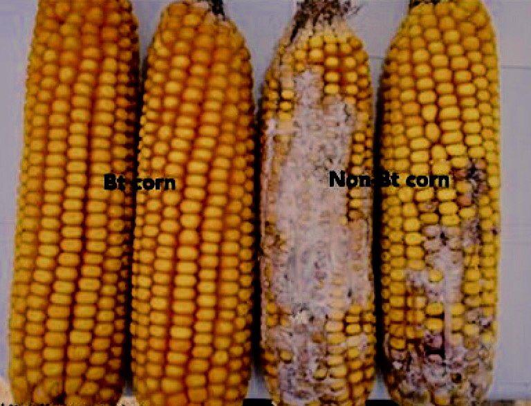 GMO or Non? White stuff on Non-GMO cob is cancer-causing mycotoxin Fusarium fungi. Bt corn has 30 fold less toxin! https://t.co/i1N8IoZG2o